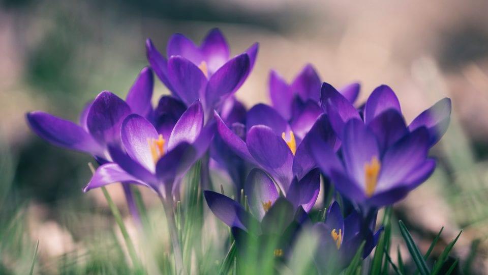 spring - crocus